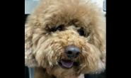 狗狗的肾上腺皮质机能亢进(库兴氏症) 吃多喝多尿多肚子变大