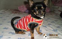 最小宠物狗现身英国 站立时身高不足3英寸