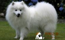 日本银狐犬饲养及美容须知