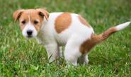 狗狗膀胱尿道憩室的症状、原因和治疗方法