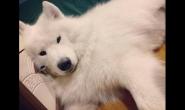 如何改善萨摩耶狗狗的大量掉毛