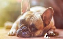 狗狗中暑了怎么办?判断中暑的征兆、预防、与治疗方法
