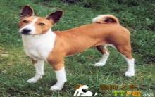 巴仙吉犬美容多少钱