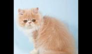 波斯猫适合喂什么猫粮 好猫粮好吗