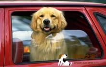 训练改善狗狗晕车症状