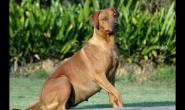 如何确定狗狗怀孕了 食欲会增加吗