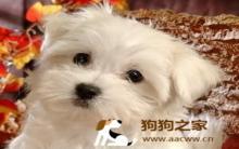 狗狗产后缺钙症状预防及治疗