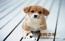 幼犬训练时机及注意事项