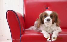 我的狗狗 贵宾犬得忧郁症了吗?