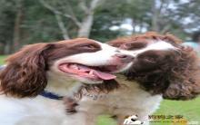 英国跳猎犬美容多少钱