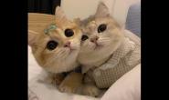 金渐层猫咪要喂什么猫粮 好猫粮怎么样