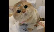 英短适合吃什么猫粮 好猫粮怎么样