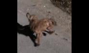 残疾泰迪犬独自在街上游荡 为了生存顾不上自己的身体