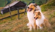 牧羊犬眼睛异常的症状、原因和治疗方法