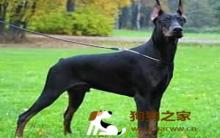 护卫犬认识及训练重点