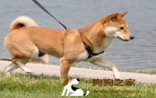 幽灵犬:带狗外出 宠物散步保健康