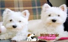 狗狗春季流行病传染及防治