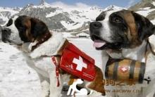圣伯纳犬外观特性及美容护理