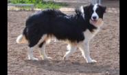 狗狗也有智商排名 边境牧羊犬力压贵宾夺冠