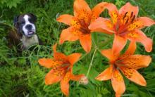 百合对狗狗有毒吗?如果狗狗吃了百合 该怎么办?
