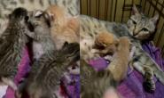 """2只奶猫抢奶""""互赏巴掌""""小手狂甩 猫妈心累:别打了"""