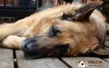 除了关节还有这些疾病!大型犬危险病症全整理