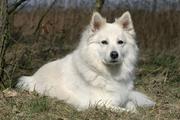 软毛麦色梗(Soft Coated Wheaten Terrier)幼犬特点