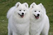 三种玩赏犬必学的基本动作